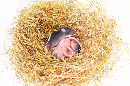 terrestrial mammals: small mouse babies in straw nest, close up