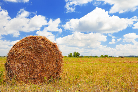 Straw Haystacks on the field after harvesting photo