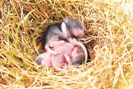 newborn rat: small mouse babies in straw nest, close up