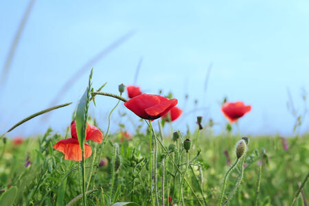 red poppy flowers field on the blue sky background photo