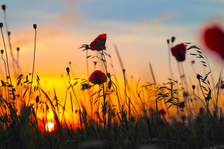 Red poppy flowers on the sunset background photo