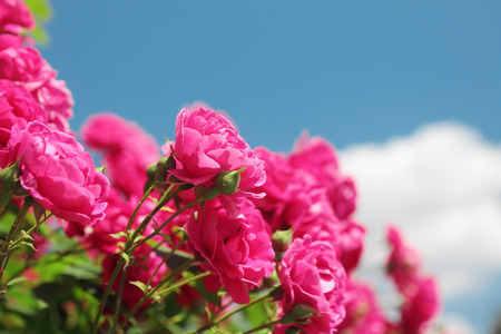 pink garden roses on the blue sky background photo