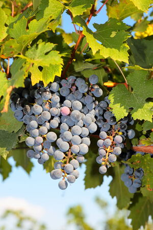 kuban: Bunches of ripe grapes on the vine, selective focus