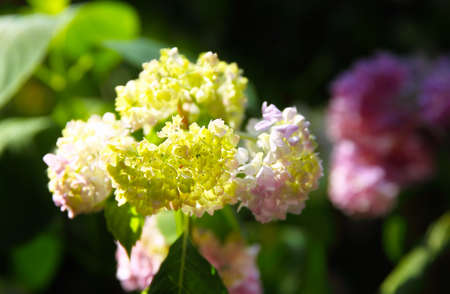 asterids: colorful hydrangea in full bloom, close up Stock Photo