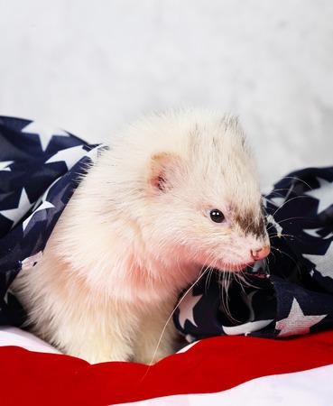 hunter playful: Little cute ferret on the USA flag background