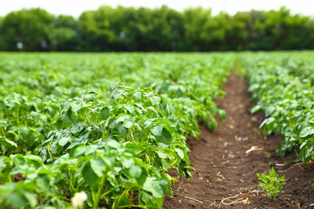 vegetable: potato field rows with green bushes, close up
