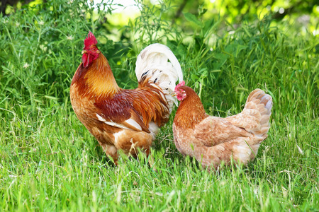 hen: Red rooster and hen in green grass, close up Stock Photo