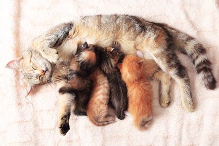 vientre femenino: Gato que cuida sus gatitos poco, de cerca Foto de archivo