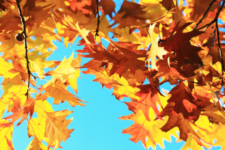background summer: Autumn leaves with the blue sky background, close up