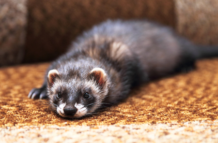 Funny ferret lying on bed, close up