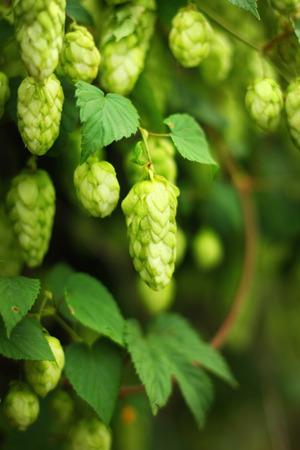hopfield: green ripe hop branches, close up view