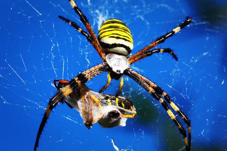 araneidae: wasp spider - Argiope bruennichi with his prey