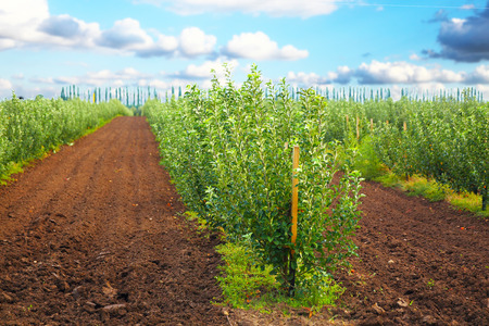 krasnodar: Apple garden under blue sky near Krasnodar, Russia