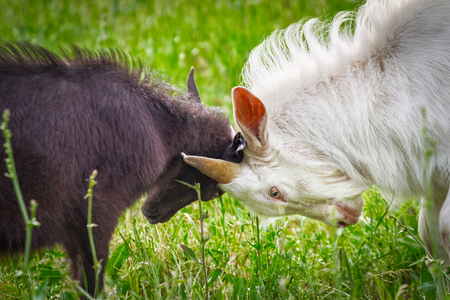fighting of goats