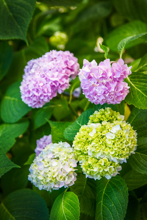 Colorful flowers hydrangeas