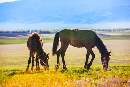 wild horses are grazing across the steppe