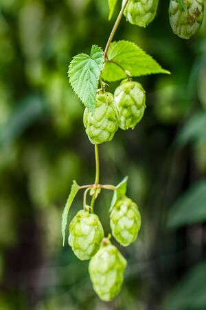 brewery: green hop branches