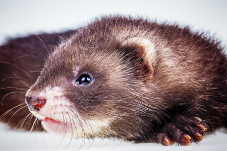 Ferret baby on white background Stock Photo