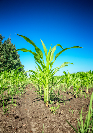 Young green corn field Stock Photo