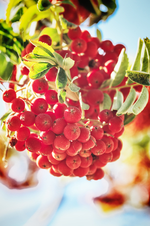 Ripe red ashberry Stock Photo