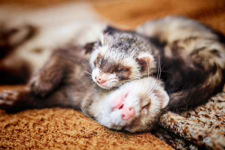 Two cute sleeping ferrets