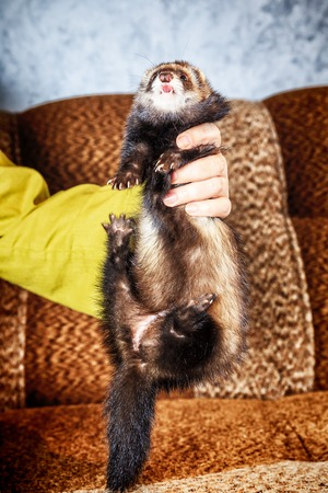 Close up Portrait of Ferret in woman hands