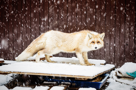 golden fox in winter snowfall