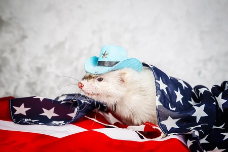 Little cute ferret on the USA flag Stock Photo