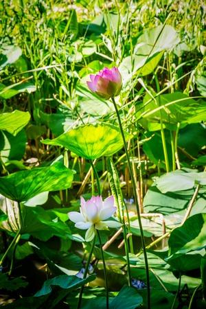 blooming lotuses in zoo Stockfoto - 104100716