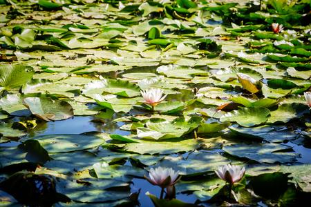 blooming lotuses in zoo