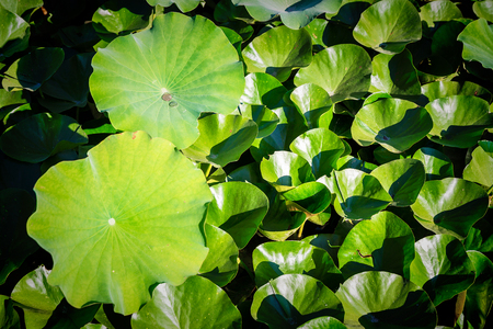 lotuses in zoo, top view Stockfoto - 104064348