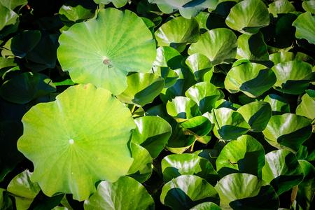 lotuses in zoo, top view