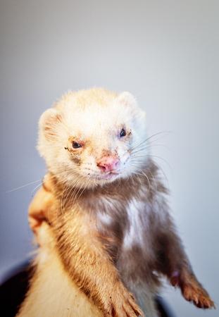 Ferret with muddy muzzle Stock Photo