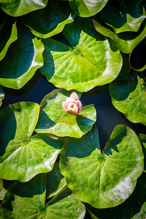 blooming lotuses in safari-park zoo, top view Stockfoto - 108070260