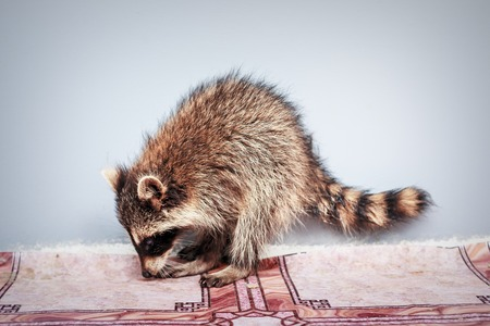 Portrait of little playful racoon animal, close up Banco de Imagens - 107749063