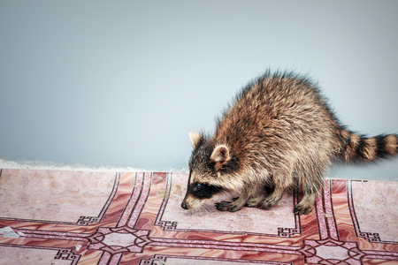 portrait of little playful racoon animal, close up Stock Photo