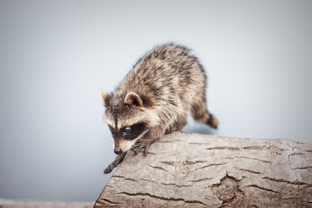 portrait of little playful racoon animal on a log