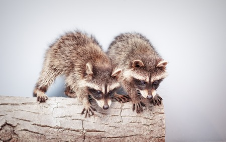 portrait of two little playful racoons animal on a log