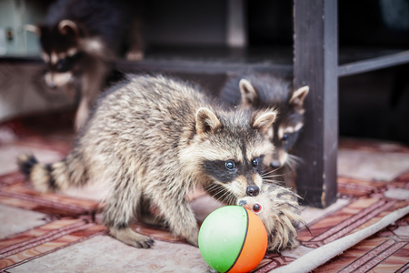 portrait of little playful racoons animal playing with toy