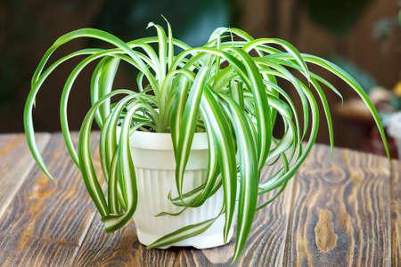 Chlorophytum in white flowerpot on wooden background. Ornamental plants in pot / Variegatum, comosum. Spider Plant