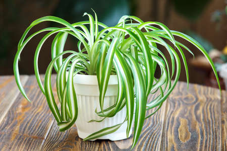 Chlorophytum in white flowerpot on wooden background. Ornamental plants in pot  Variegatum, comosum. Spider Plant