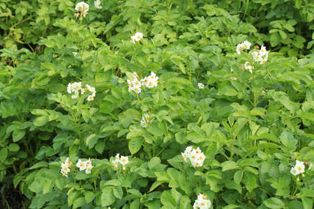 kitchen garden: Blossoming potato on the kitchen garden in the summer Stock Photo