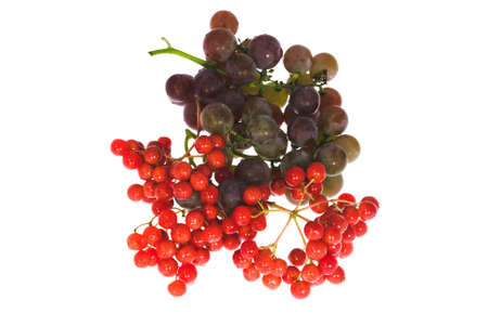 bacca: Bunch of grapes and bunch of viburnum on white background