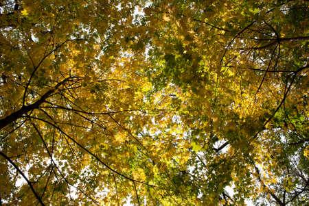 broadleaved tree: Autumn tints, fall of the leaves