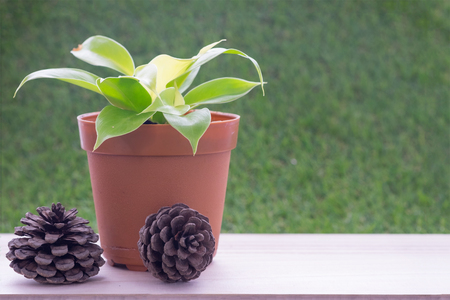 pine  fruit: Small plant in brown flower pot on wooden table and grass wall background and dry pine tree fruit