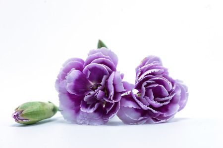 Bouquet of purple white carnation flower on isolated background bouquet of purple white carnation flower on isolated background stock photo picture and royalty free image image 62838529 mightylinksfo