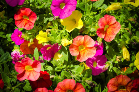 They are perennial plants treated as annuals of short stature, between 15 to 60 cm depending on the species. The leaves are arranged alternately or opposite, elongated or rounded and with full edges