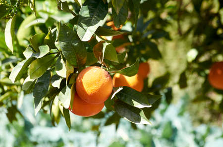 The orange tree (Citrus sinensis) is a fruit tree of oriental origin that has been installed in Mediterranean areas Archivio Fotografico