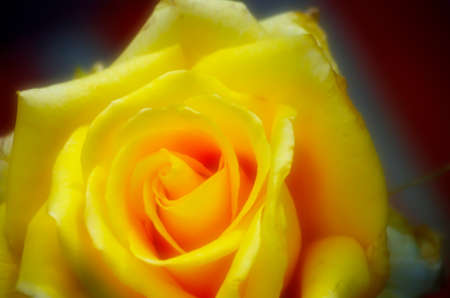 Yellow rose with orton effect Banque d'images