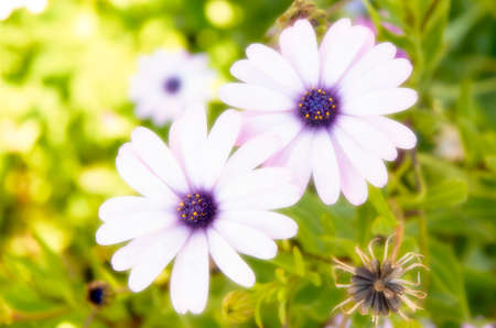 Blue daisies with orton effect